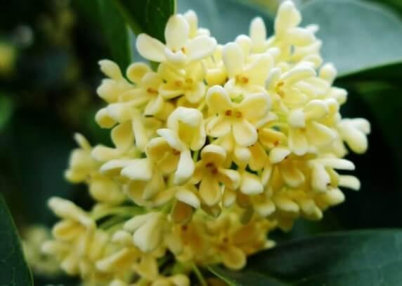 Hình ảnh hoa quế