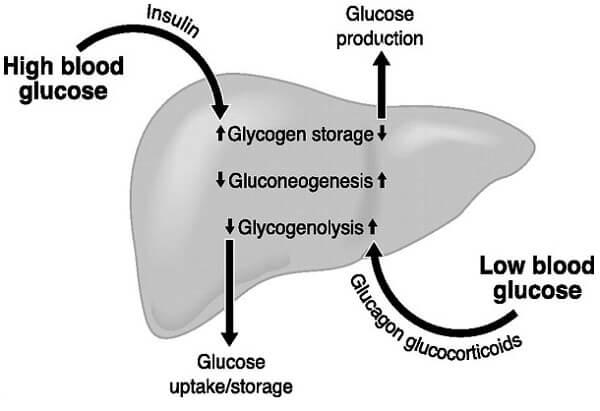 Insulin là hormon duy nhất làm giảm glucose trong máu