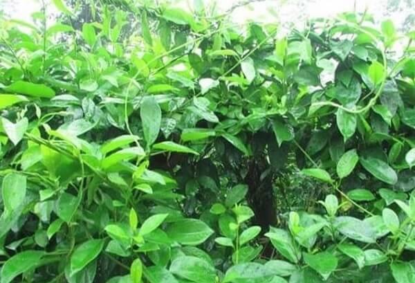Dây thìa canh cải được thu hái quanh năm